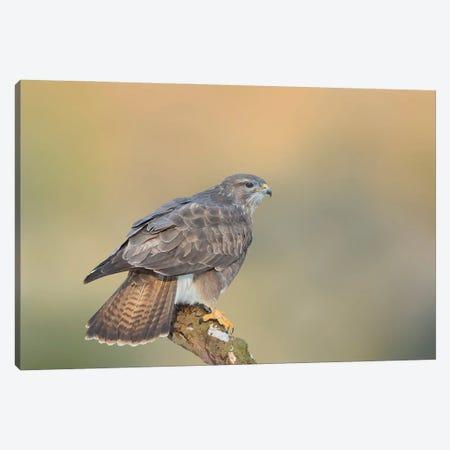 Eurasian Buzzard Landing On A Branch In Perfect Background Canvas Print #PSM90} by Pascal De Munck Canvas Art