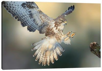 Eurasian Buzzard Landing On A Branch Claws Forward Canvas Art Print