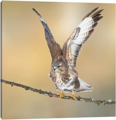 Eurasian Buzzard On A Branch Wings Up And Open Canvas Art Print