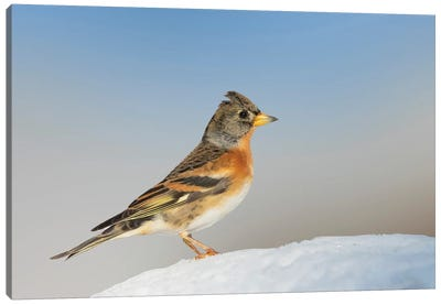 Brambling Proud Walking Around On The Ground In The Snow And Bly Sky Canvas Art Print