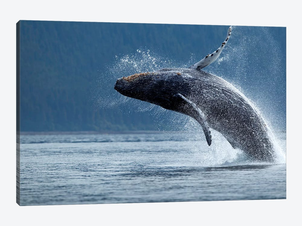 Breaching Humpback Whale, Chatham Strait, Alaska, USA by Paul Souders 1-piece Canvas Print