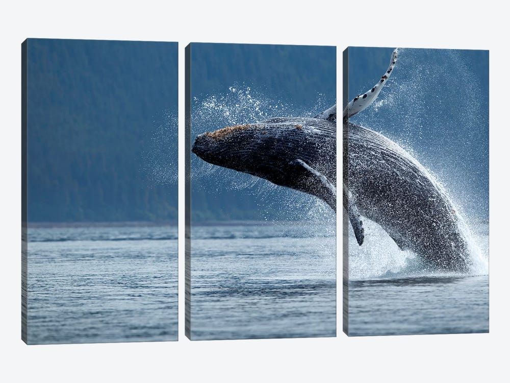 Breaching Humpback Whale, Chatham Strait, Alaska, USA by Paul Souders 3-piece Art Print