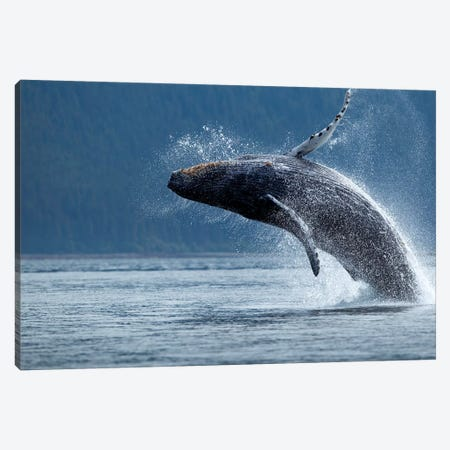 Breaching Humpback Whale, Chatham Strait, Alaska, USA Canvas Print #PSO10} by Paul Souders Canvas Artwork