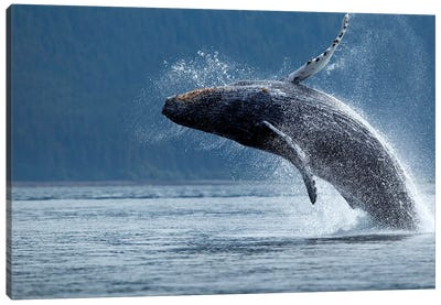 Breaching Humpback Whale, Chatham Strait, Alaska, USA Canvas Art Print