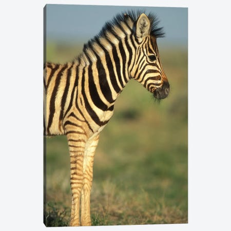 Young Plains Zebra In Desert, Namibia, Etosha National Park. Canvas Print #PSO15} by Paul Souders Canvas Print