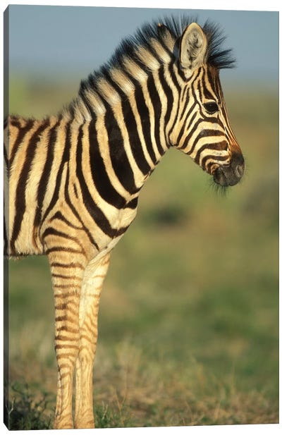 Young Plains Zebra In Desert, Namibia, Etosha National Park. Canvas Art Print