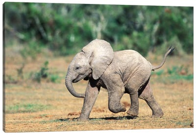 Baby Elephants By Water Hole, South Africa, Addo Elephant Nat'L Park. Canvas Art Print