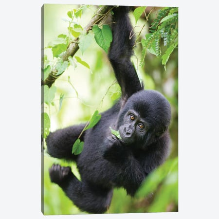 Baby Mountain Gorilla Hangs From Vine While Playing In Rainforest, Uganda, Bwindi Impenetrable National Park. Canvas Print #PSO18} by Paul Souders Canvas Art