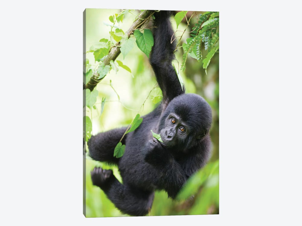 Baby Mountain Gorilla Hangs From Vine While Playing In Rainforest, Uganda, Bwindi Impenetrable National Park. by Paul Souders 1-piece Canvas Print