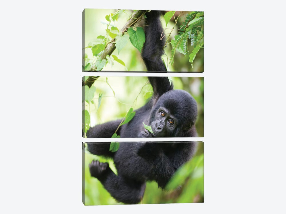 Baby Mountain Gorilla Hangs From Vine While Playing In Rainforest, Uganda, Bwindi Impenetrable National Park. by Paul Souders 3-piece Canvas Print