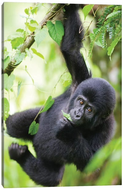 Baby Mountain Gorilla Hangs From Vine While Playing In Rainforest, Uganda, Bwindi Impenetrable National Park. Canvas Art Print