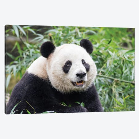 Giant Panda Bear Eating Bamboo Shoots At Chengdu Research Base Of Giant Panda Breeding, China, Sichuan Province, Chengdu. Canvas Print #PSO19} by Paul Souders Canvas Art