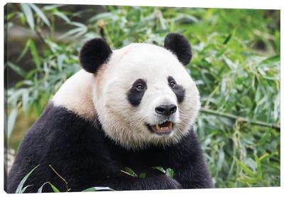 Giant Panda Bear Eating Bamboo Shoots At Chengdu Research Base Of Giant Panda Breeding, China, Sichuan Province, Chengdu. Canvas Art Print