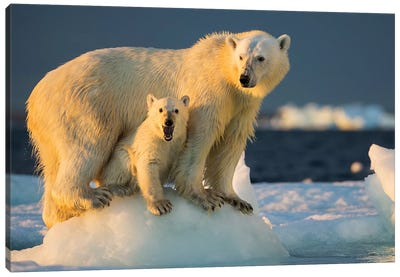 Polar Bear Cub Beneath Mother While Standing On Sea Ice Near Harbor Islands, Canada, Nunavut Territory, Repulse Bay. Canvas Art Print