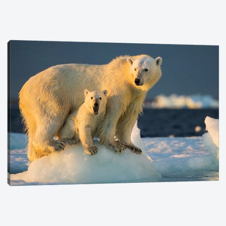 Polar Bear Cub Beneath Mother While Standing On Sea Ice Near Harbor Islands, Canada, Nunavut Territory, Repulse Bay. Canvas Print #PSO20} by Paul Souders Canvas Print
