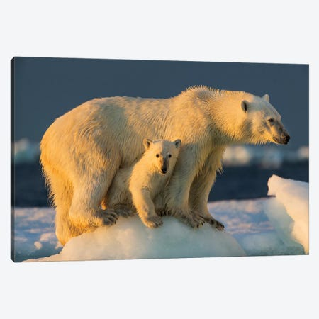 Polar Bear Cub Beneath Mother While Standing On Sea Ice Near Harbor Islands, Canada, Nunavut Territory, Repulse Bay. Canvas Print #PSO21} by Paul Souders Art Print
