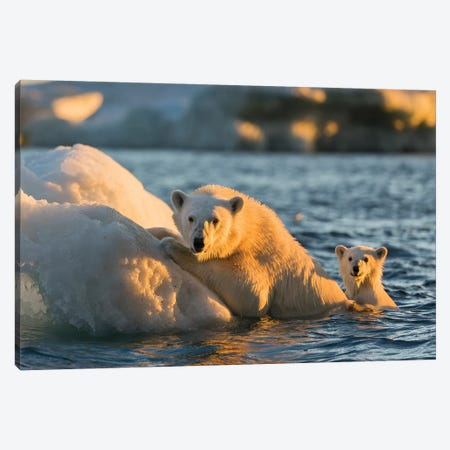 Polar Bear And Young Cub Cling To Melting Sea Ice At Sunset Near Harbor Islands, Canada, Nunavut Territory, Repulse Bay. Canvas Print #PSO23} by Paul Souders Canvas Art Print