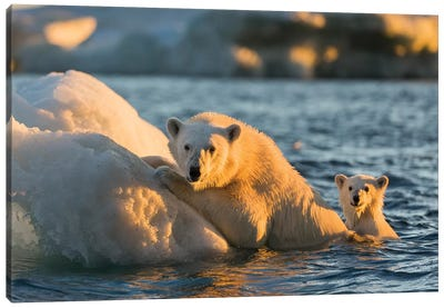 Polar Bear And Young Cub Cling To Melting Sea Ice At Sunset Near Harbor Islands, Canada, Nunavut Territory, Repulse Bay. Canvas Art Print