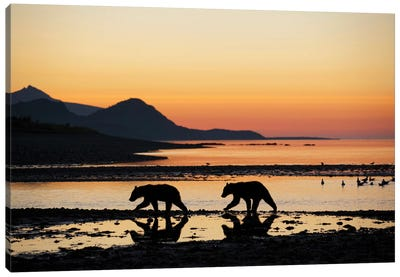 Grizzly Bear Cubs Walking Along Kukak Bay Before Sunrise On Late Summer Morning USA, Alaska, Katmai National Park. Canvas Art Print
