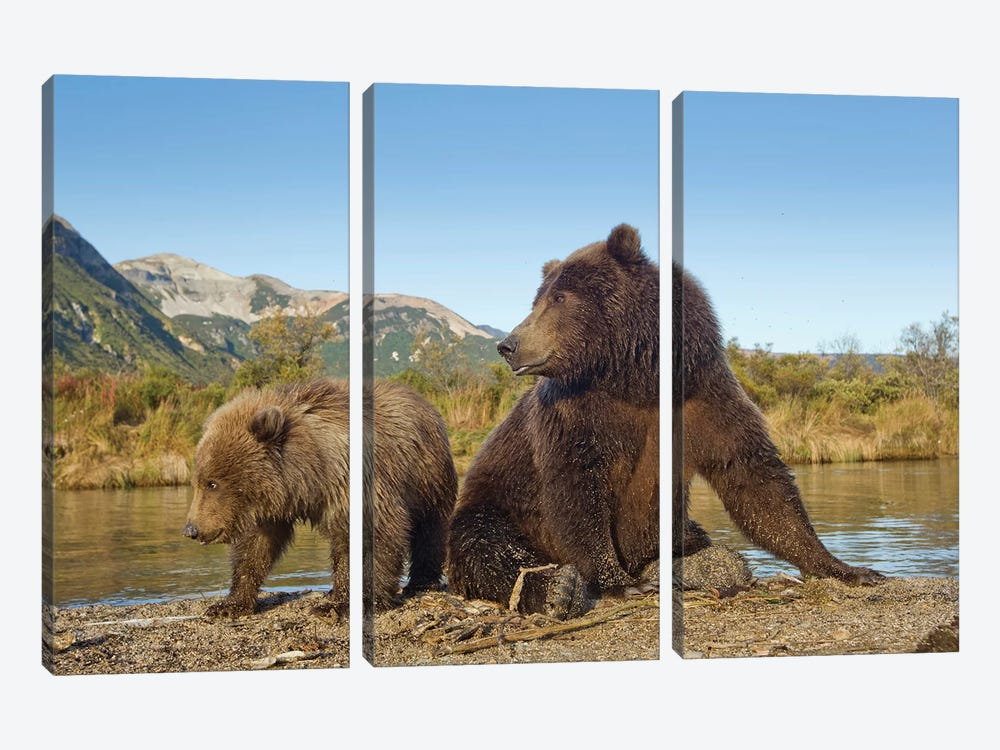 Grizzly Bear Sow And Cub Rest While Feeding By Stream, Katmai National Park & Preserve by Paul Souders 3-piece Canvas Print