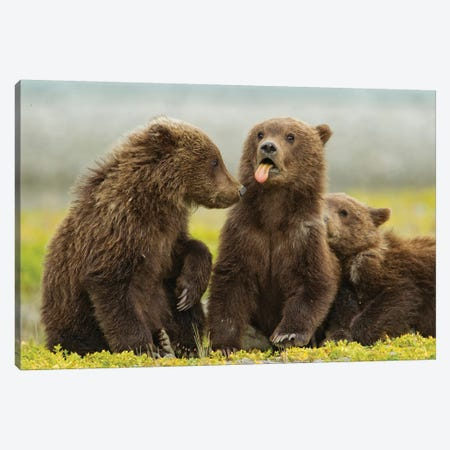 Grizzly Bear Spring Cub Sticks Out Tongue While Resting On Tidal Flats Along Kukak Bay, USA, Alaska, Katmai National Park. Canvas Print #PSO26} by Paul Souders Canvas Wall Art