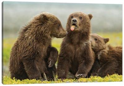 Grizzly Bear Spring Cub Sticks Out Tongue While Resting On Tidal Flats Along Kukak Bay, USA, Alaska, Katmai National Park. Canvas Art Print