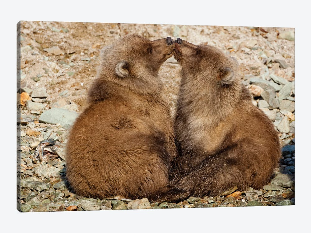 Grizzly Bear Spring Cubs Playing On Banks Of Salmon Spawning Stream, Katmai National Park & Preserve by Paul Souders 1-piece Canvas Art Print