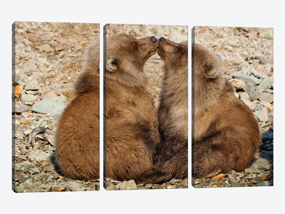 Grizzly Bear Spring Cubs Playing On Banks Of Salmon Spawning Stream, Katmai National Park & Preserve by Paul Souders 3-piece Canvas Print