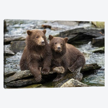 Coastal Brown Bear Spring Cubs Sitting On Stones Along Salmon Spawning Stream By Kuliak Bay, USA, Alaska, Katmai National Park. Canvas Print #PSO28} by Paul Souders Canvas Print