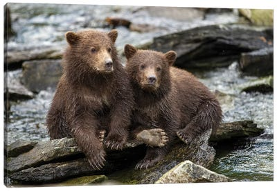 Coastal Brown Bear Spring Cubs Sitting On Stones Along Salmon Spawning Stream By Kuliak Bay, USA, Alaska, Katmai National Park. Canvas Art Print