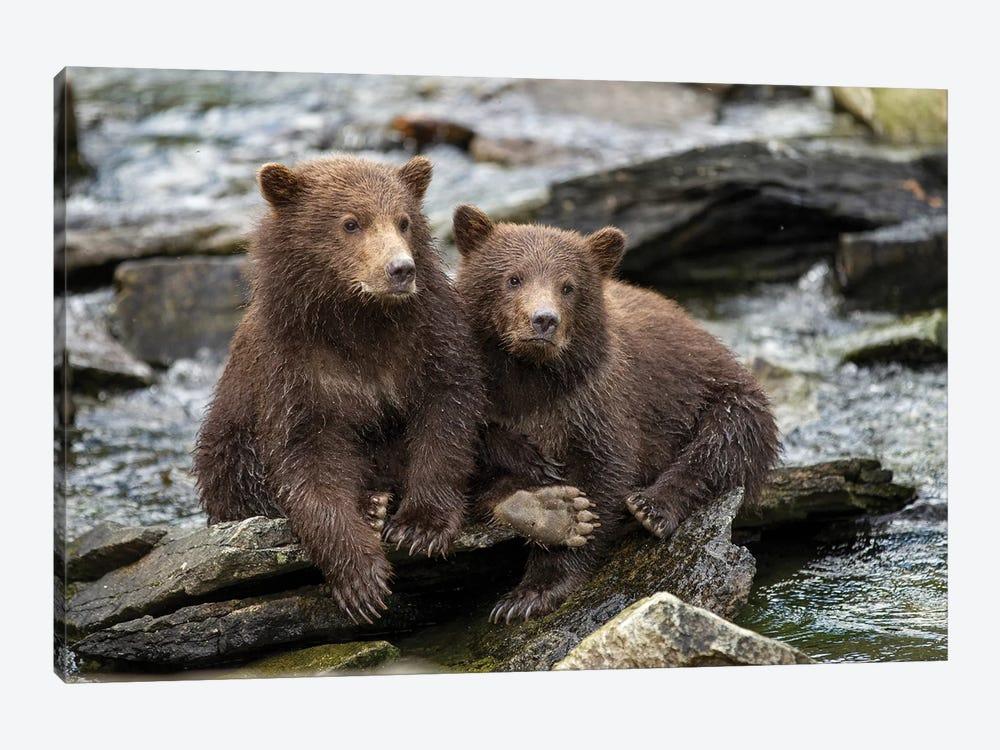 Coastal Brown Bear Spring Cubs Sitting On Stones Along Salmon Spawning Stream By Kuliak Bay, USA, Alaska, Katmai National Park. by Paul Souders 1-piece Canvas Wall Art