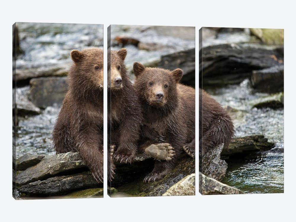 Coastal Brown Bear Spring Cubs Sitting On Stones Along Salmon Spawning Stream By Kuliak Bay, USA, Alaska, Katmai National Park. by Paul Souders 3-piece Canvas Artwork