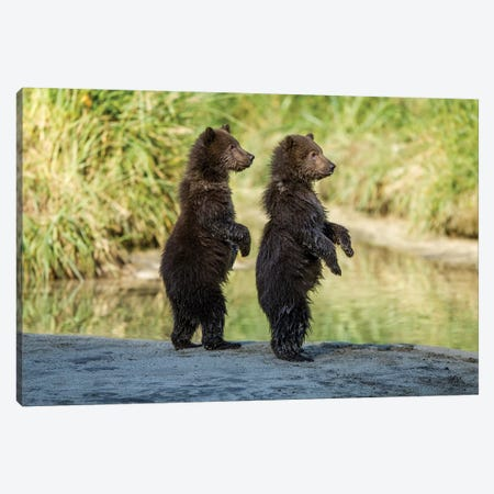 Coastal Brown Bear Spring Cubs Standing Along Salmon Spawning Stream, USA, Alaska, Katmai National Park. Canvas Print #PSO29} by Paul Souders Canvas Print
