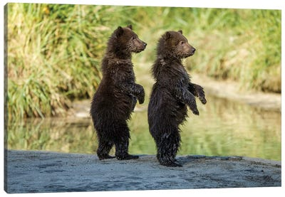 Coastal Brown Bear Spring Cubs Standing Along Salmon Spawning Stream, USA, Alaska, Katmai National Park. Canvas Art Print