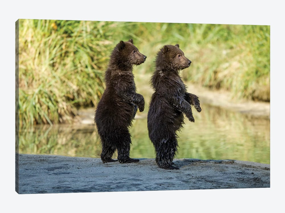 Coastal Brown Bear Spring Cubs Standing Along Salmon Spawning Stream, USA, Alaska, Katmai National Park. by Paul Souders 1-piece Canvas Print