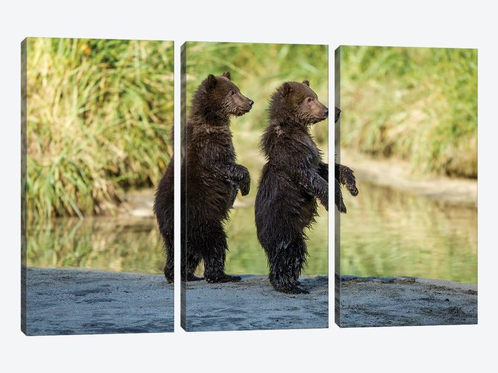 Coastal Brown Bear Spring Cubs Standing Along Salmon Spawning Stream, USA, Alaska, Katmai National Park. by Paul Souders 3-piece Art Print