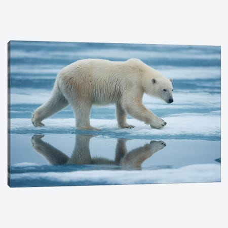 Lone Polar Bear, Sabinebukta, Nordaustlandet, Svalbard, Norway Canvas Print #PSO4} by Paul Souders Canvas Print