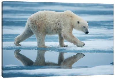 Lone Polar Bear, Sabinebukta, Nordaustlandet, Svalbard, Norway Canvas Art Print