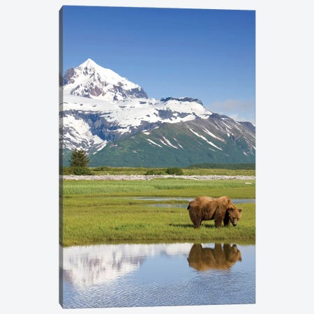 Grazing Grizzly Bear Near Hallo Bay, Katmai National Park, Alaska, USA Canvas Print #PSO7} by Paul Souders Canvas Print