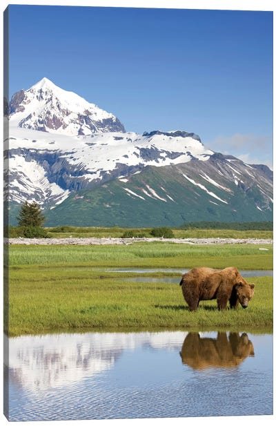 Grazing Grizzly Bear Near Hallo Bay, Katmai National Park, Alaska, USA Canvas Art Print