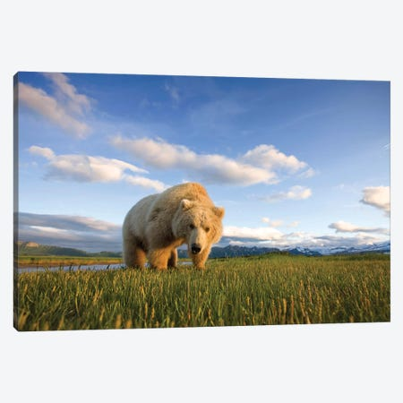 Blonde Grizzly Bear Near Hallo Bay, Katmai National Park, Alaska, USA Canvas Print #PSO8} by Paul Souders Canvas Art
