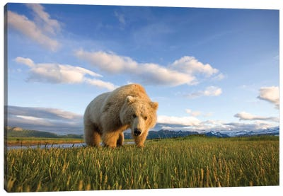 Blonde Grizzly Bear Near Hallo Bay, Katmai National Park, Alaska, USA Canvas Art Print