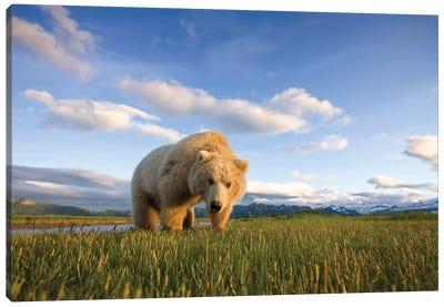 Blonde Grizzly Bear Near Hallo Bay, Katmai National Park, Alaska, USA Canvas Art Print
