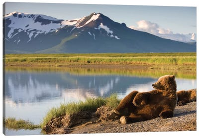 Lounging Grizzly Bear Near Hallo Bay, Katmai National Park, Alaska, USA Canvas Art Print