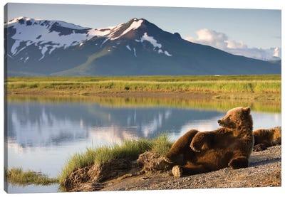 Lounging Grizzly Bear Near Hallo Bay, Katmai National Park, Alaska, USA Canvas Art Print