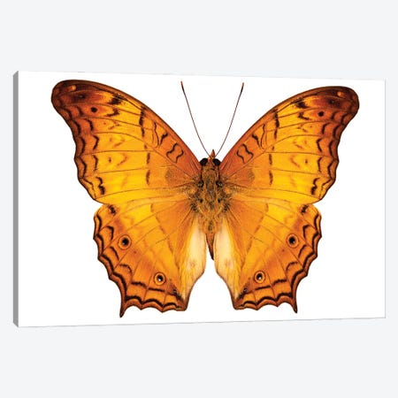 Butterfly Species Vindula Dejone Austrosundana Canvas Print #PUR1854} by Paul Rommer Canvas Artwork