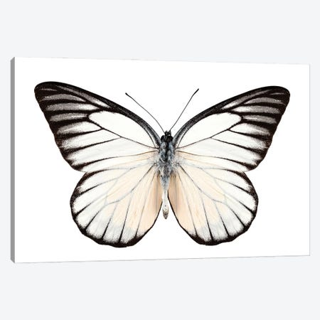 Butterfly Prioneris Philonome Ii Canvas Print #PUR2569} by Paul Rommer Canvas Art Print