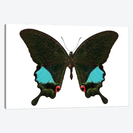 Papilio Karna Karna Butterfly Canvas Print #PUR2578} by Paul Rommer Canvas Art