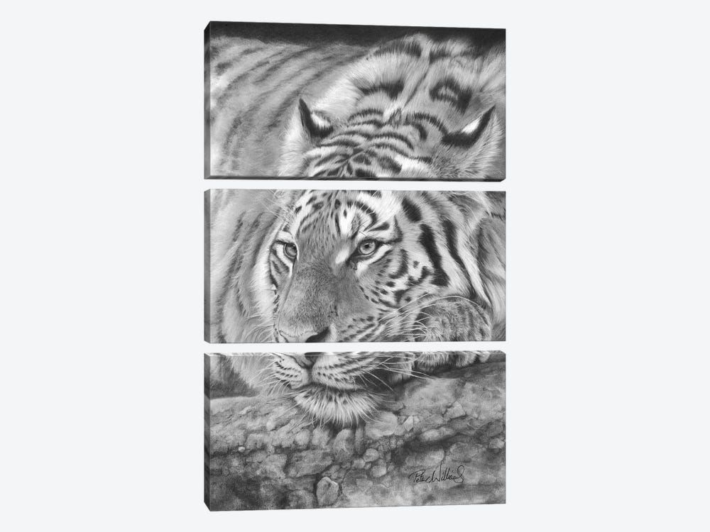 Easy Tiger by Peter Williams 3-piece Art Print