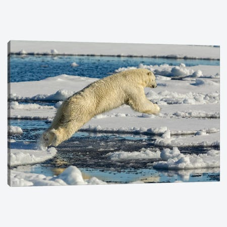 Polar Bear Jumping Canvas Print #RAA13} by Joan Gil Raga Canvas Wall Art